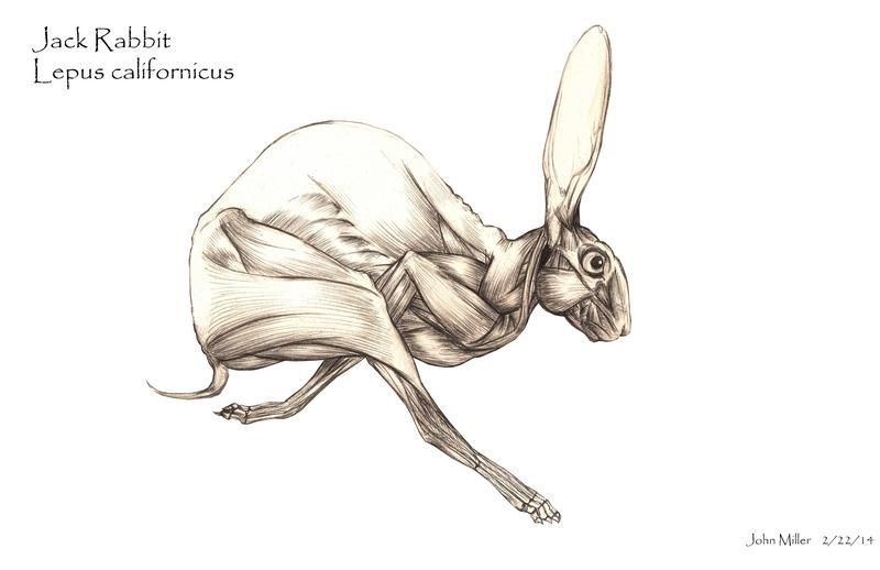 Rabbit muscle anatomy portfolio sketches rodentia lagomorpha and rabbit muscle anatomy portfolio sketches ccuart Gallery