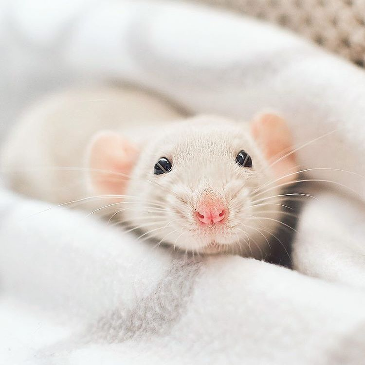 Just Look At This Tiny Handsome Buddy Pet Rats Cute Rats Pets