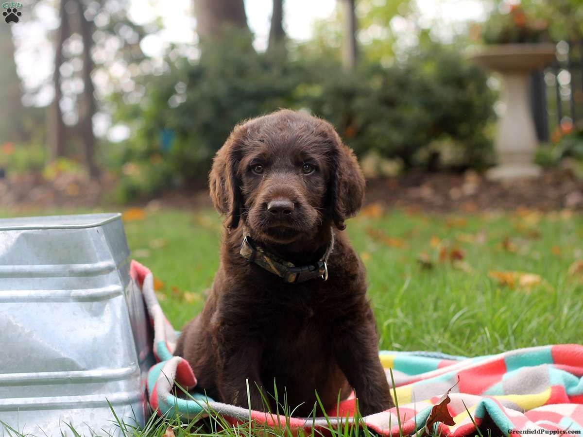 Joey Labradoodle Puppy For Sale in Pennsylvania