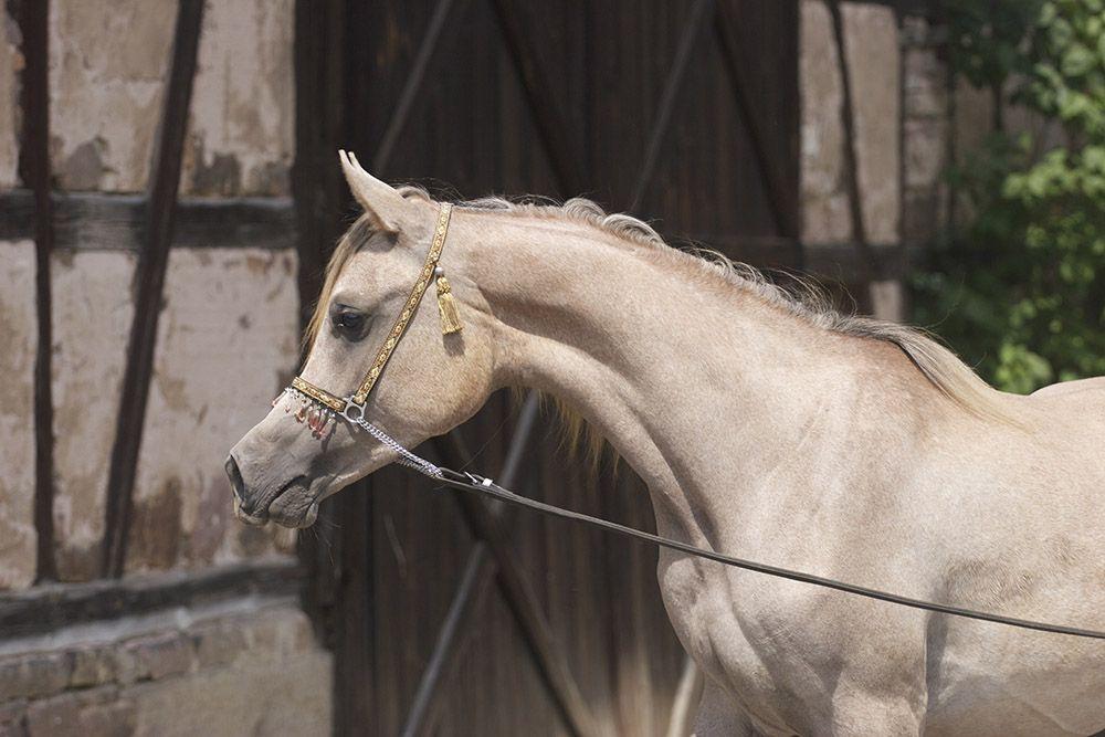NAJIB HALIM (Mashour Halim x Nile Halima) 2013 grey SE colt bred by Ponnath Arabians, Germany - Strain:  Saqlawi Jidran