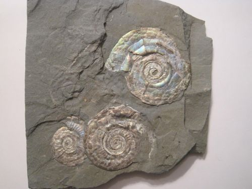 Psiloceras planorbis uploaded in Ammonites of Southern Spain and world: [i][color=rgb(20,24,35)][font=helvetica][size=3]Psiloceras planorbis[/size][/... - 125 mm Hettangien Watchet, Somerset Angleterre.
