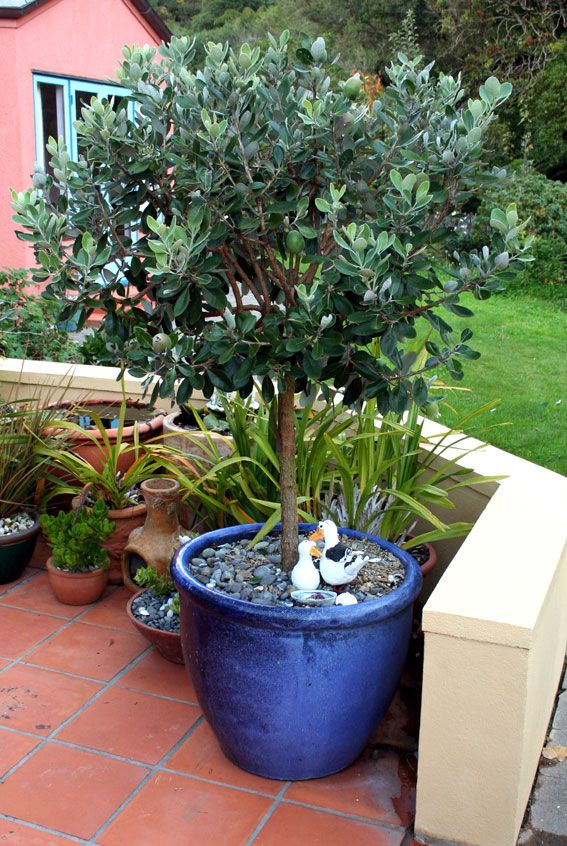 Pineapple guava acca sellowiana small tree shrub for Best low maintenance potted plants