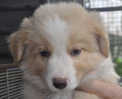 Border Collie Puppies At Www Pups4sale Com Au Border Collie Puppies Collie Puppies For Sale Collie Puppies