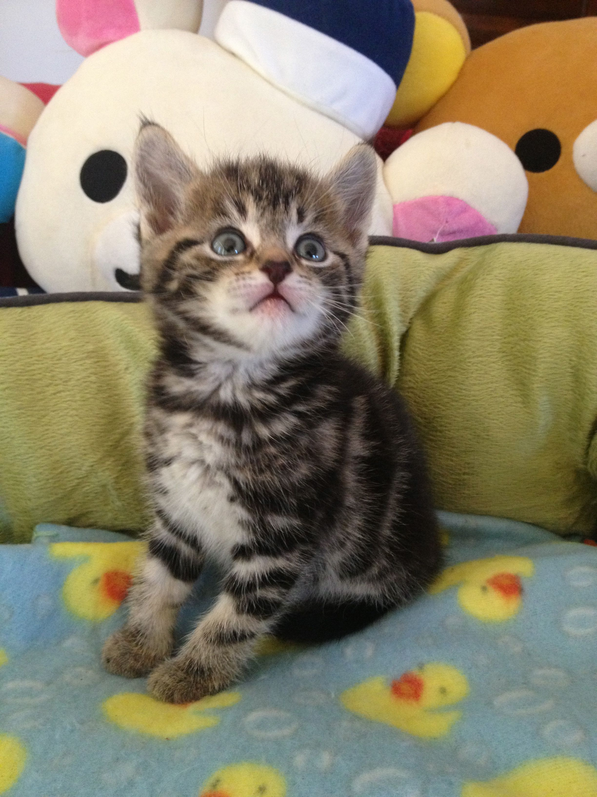 6 Weeks Old Brown Tabby Kitten Look At His Cute Face Funny Cute Cats Cute Kitten Pics Kittens Cutest