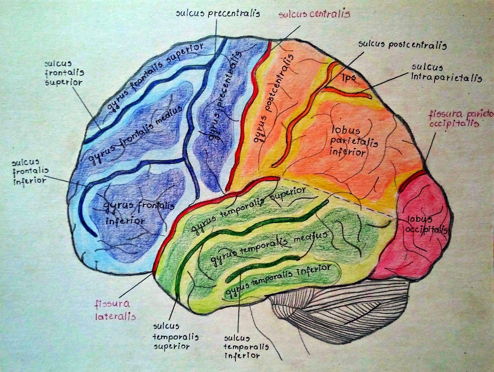 Telencephalon anatomy | Brain and Neuroscience | Pinterest | Anatomy ...