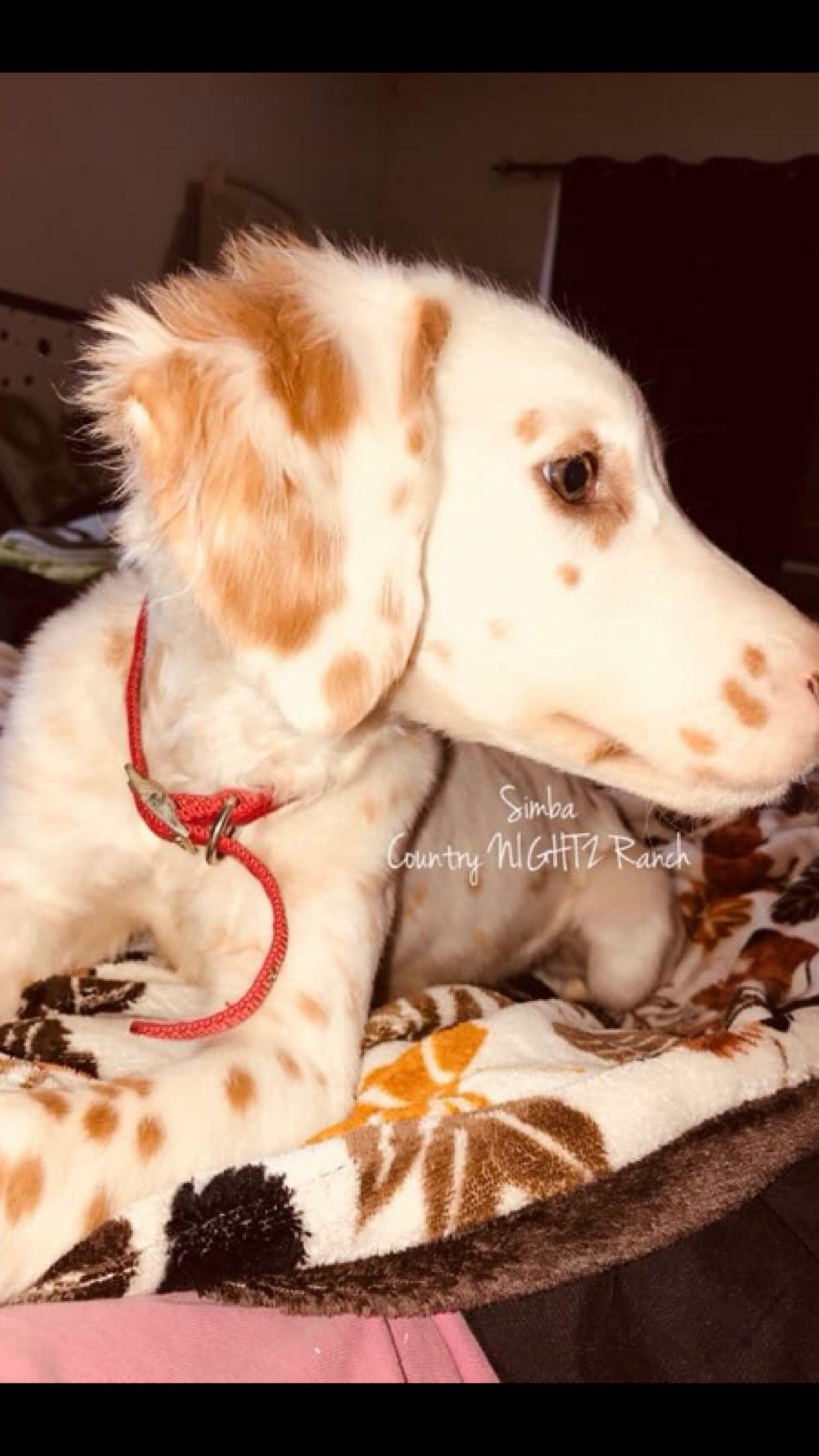 Lemon Long Coat Dalmatian Long Hair Dalmatian Dalmatian Dogs Family Pet Dalmatian