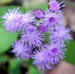 Types Of Purple Flowers Types Of Ageratum Houstonianum Or Floss Flower Types Of Purple Flowers Purple Flowers Flowers