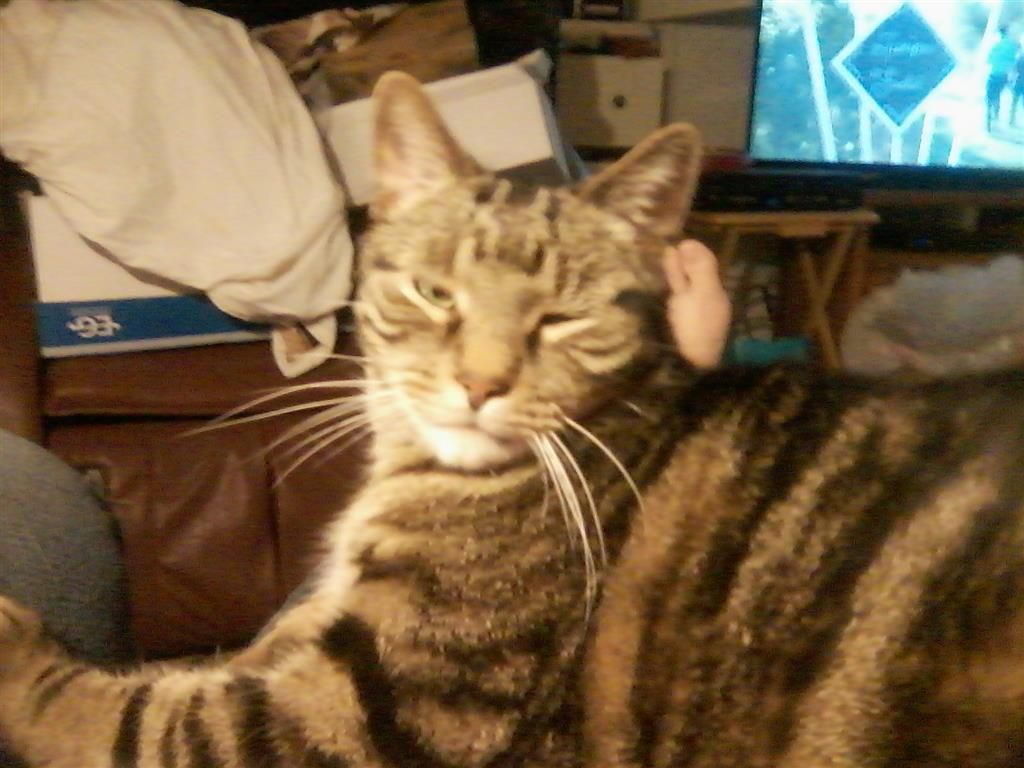 Lost Cat Tabby Monona Wi United States Lost Cat Cats Find Pets