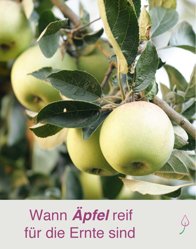 Gartentipp Fürs Ernten Von äpfeln Gartenfreunde Pinterest