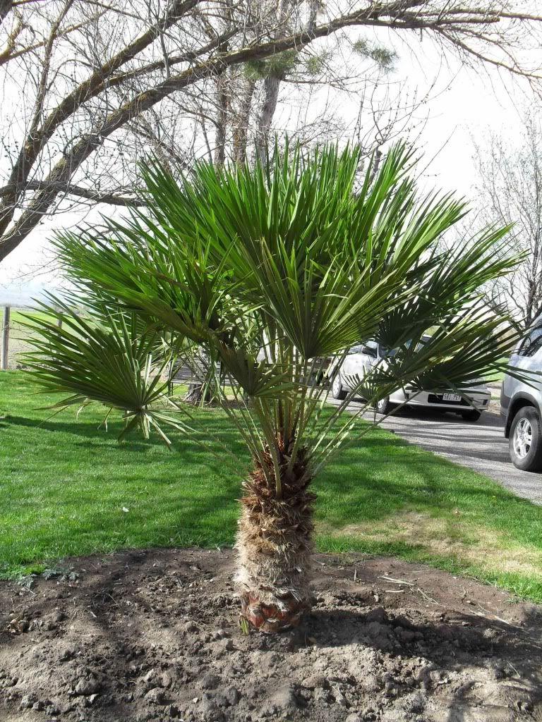 Mediterranean Fan Palm Trimmed To One Trunk Desert Landscaping Front Landscaping Fan Palm