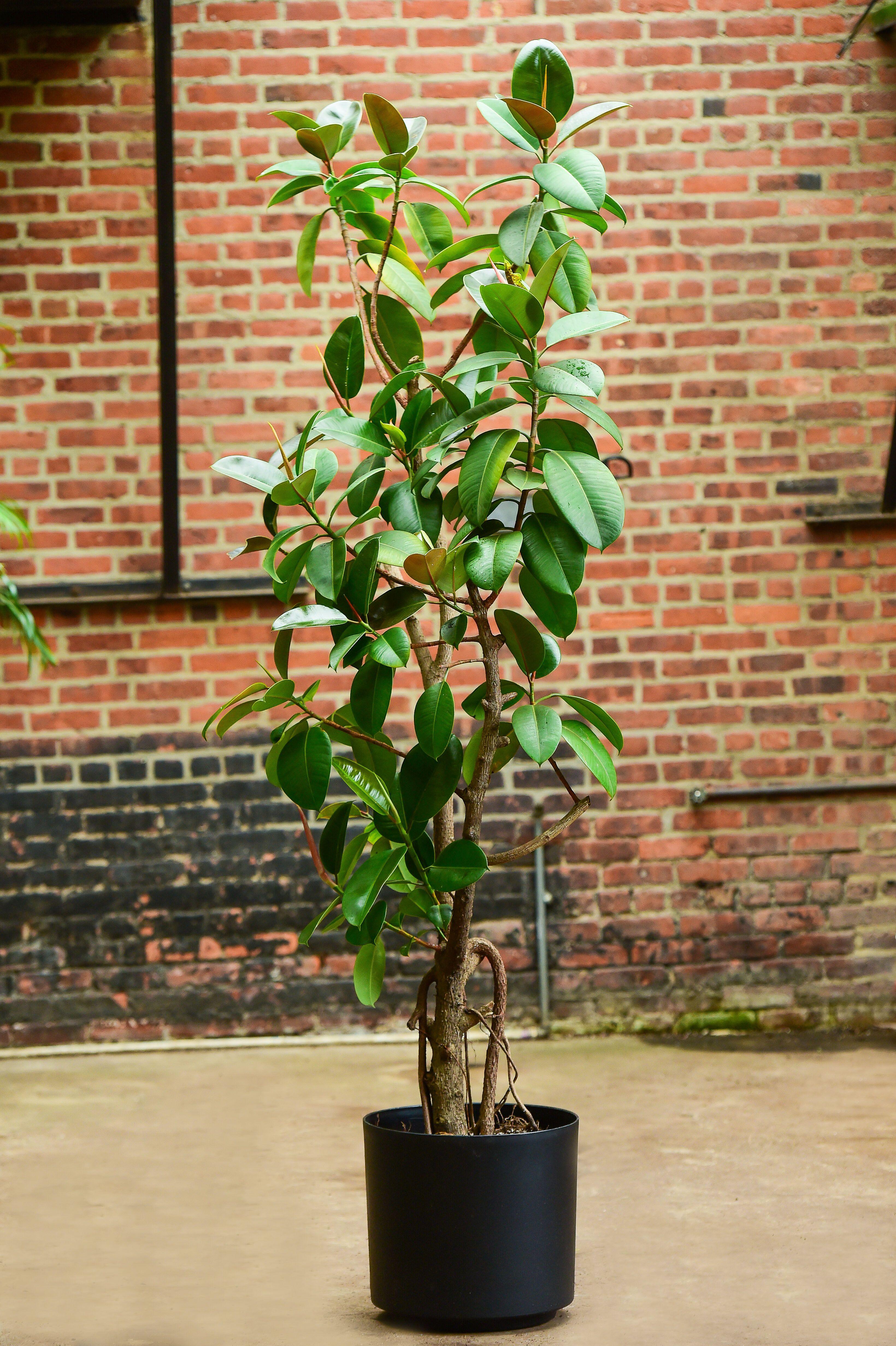 Ficus elastica (Rubber Tree Plant) Trees to plant