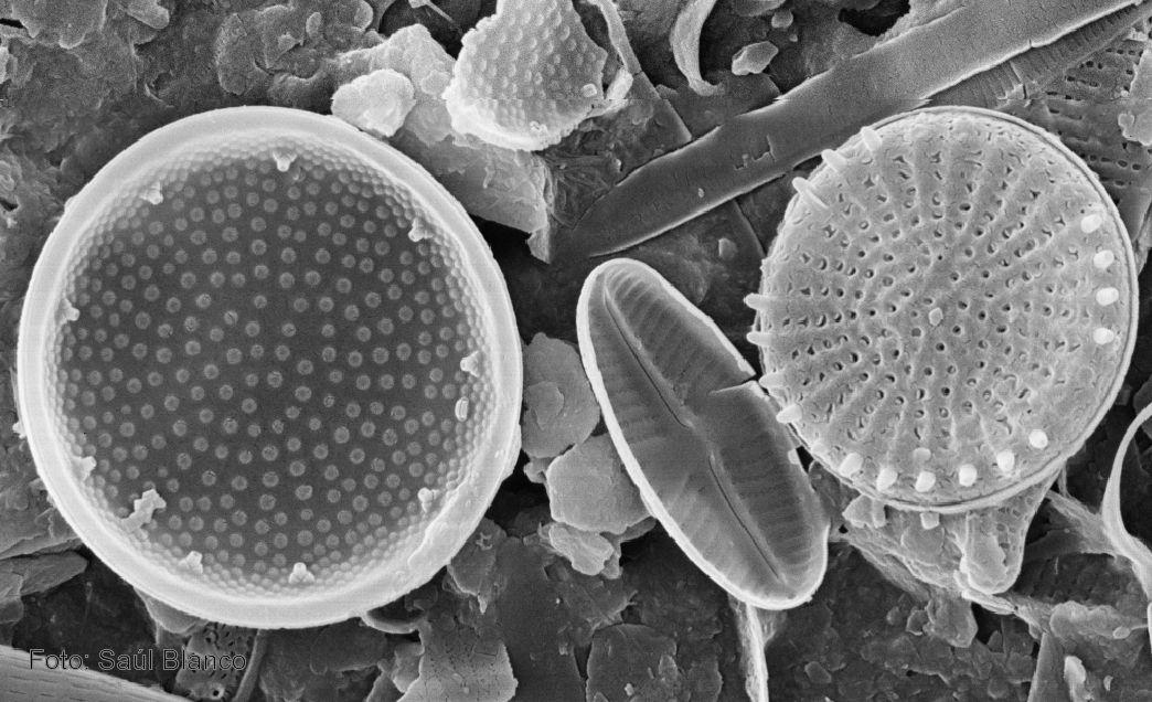 Pin En Algae Diatoms