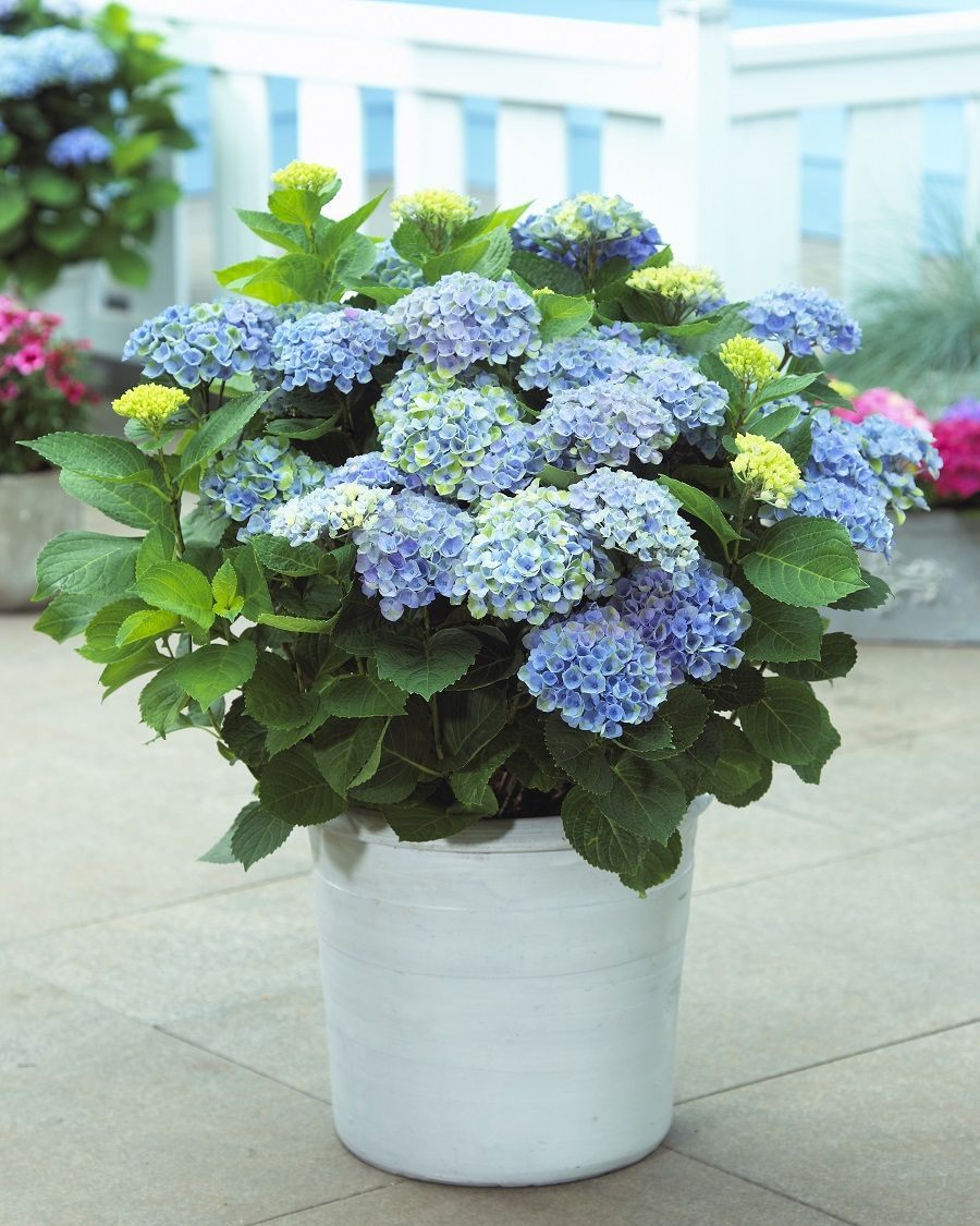 Hydrangea Top 10 Tips On How To Plant Grow Care 400 x 300