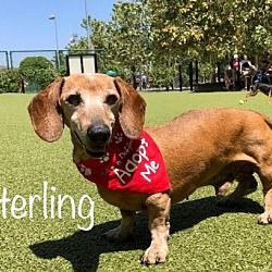 Available pets at Dachshund Rescue of Los Angeles in Los