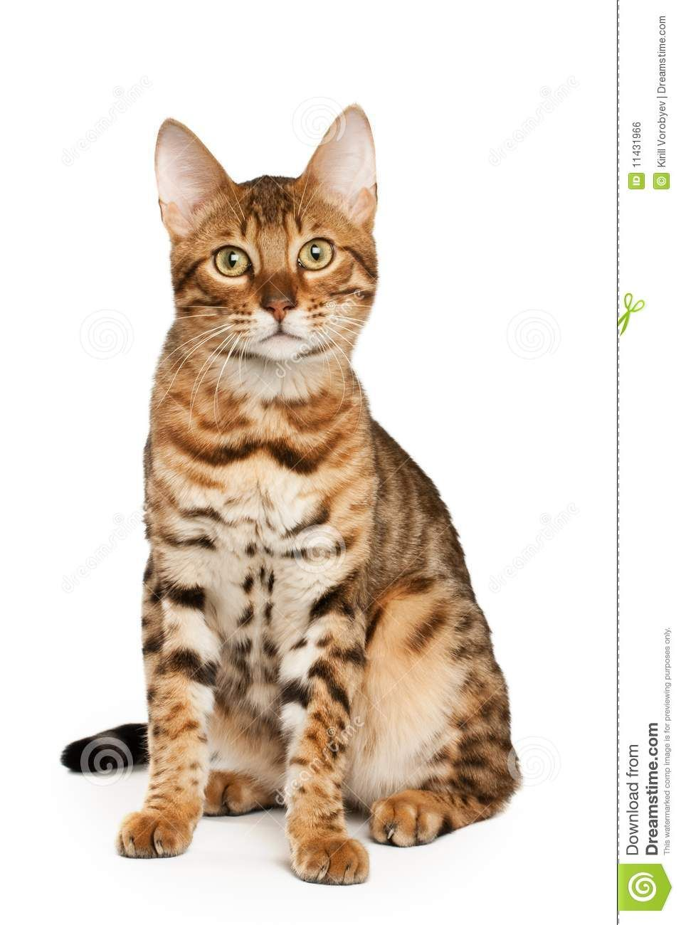 Bengal Cat Royalty Free Stock Image - Image: 11431966 #catlovers - Know more at - Catsincare.com!