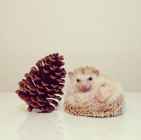 Darcy Hedgehog Instagram Pics Photos Meet Darcy The Cutest - Darcy cutest hedgehog ever