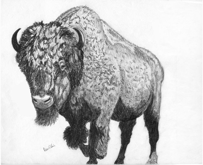 how to draw a american bison