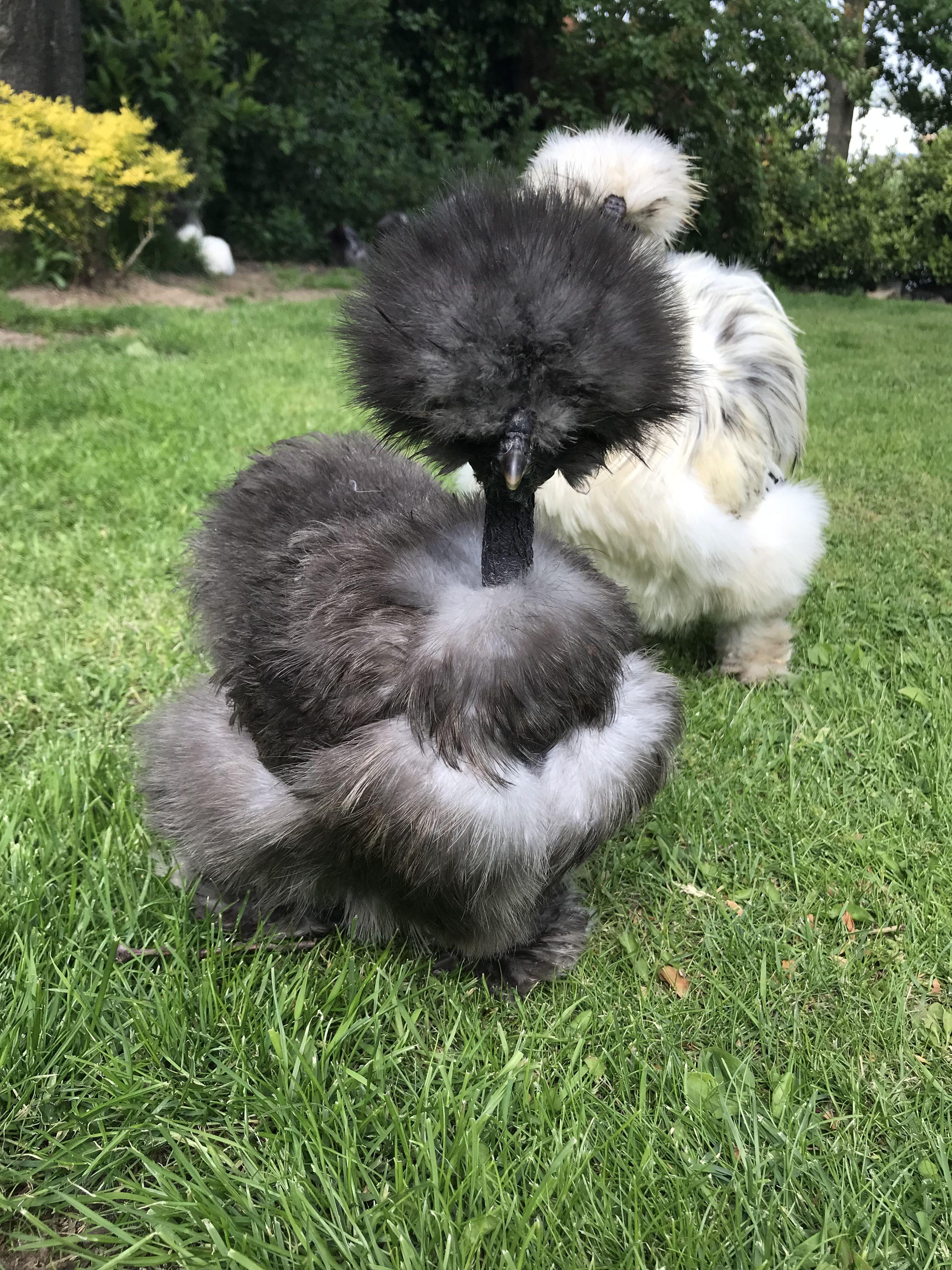 Showgirl. Silkie chicken | Silkie chickens, Black chickens ...