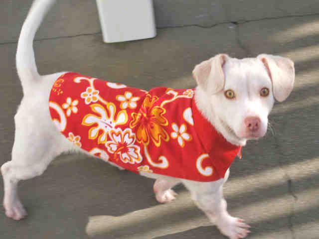 CALIFORNIA URGENT meet ALBIE ID A023454 an adoptable