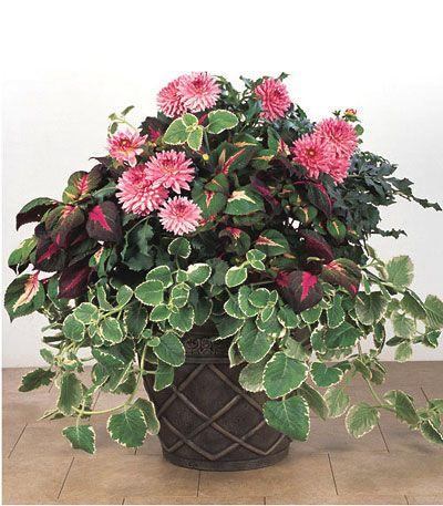 dahlia pink magilla perilla cuban oregano fleurs. Black Bedroom Furniture Sets. Home Design Ideas