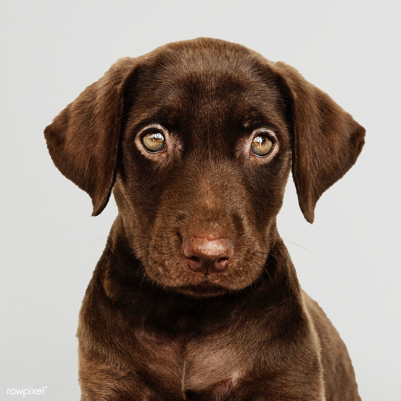 Download Premium Psd Of Adorable Chocolate Labrador Retriever Portrait Labrador Retriever Chocolate Labrador Retriever Labrador
