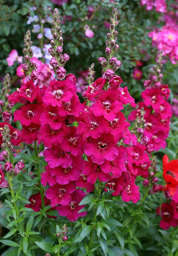 Antirrhinum Majus Chantilly Purple Snapdragon Buy Online At Annie S Annuals In 2020 Flowers Perennials Flower Seeds Beautiful Flowers