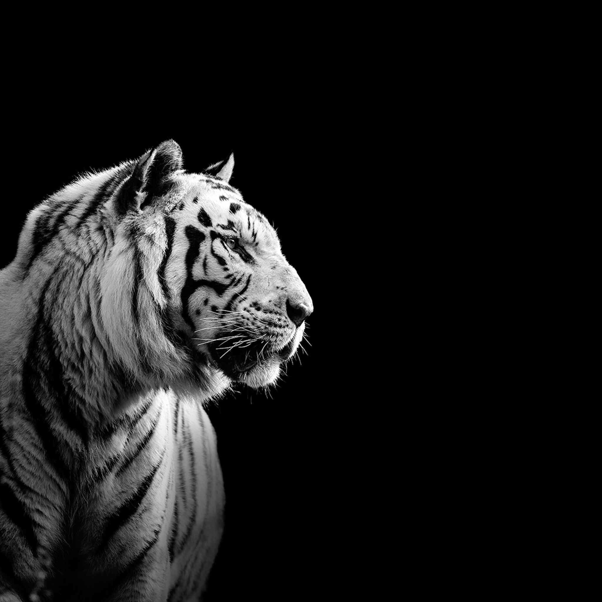 This White Tiger Is Staring In To The Darkness Tiger Wallpaper