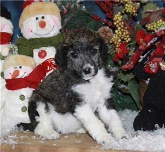 Standard Parti Poodles Near Me For Sale Poodle Puppy Parti