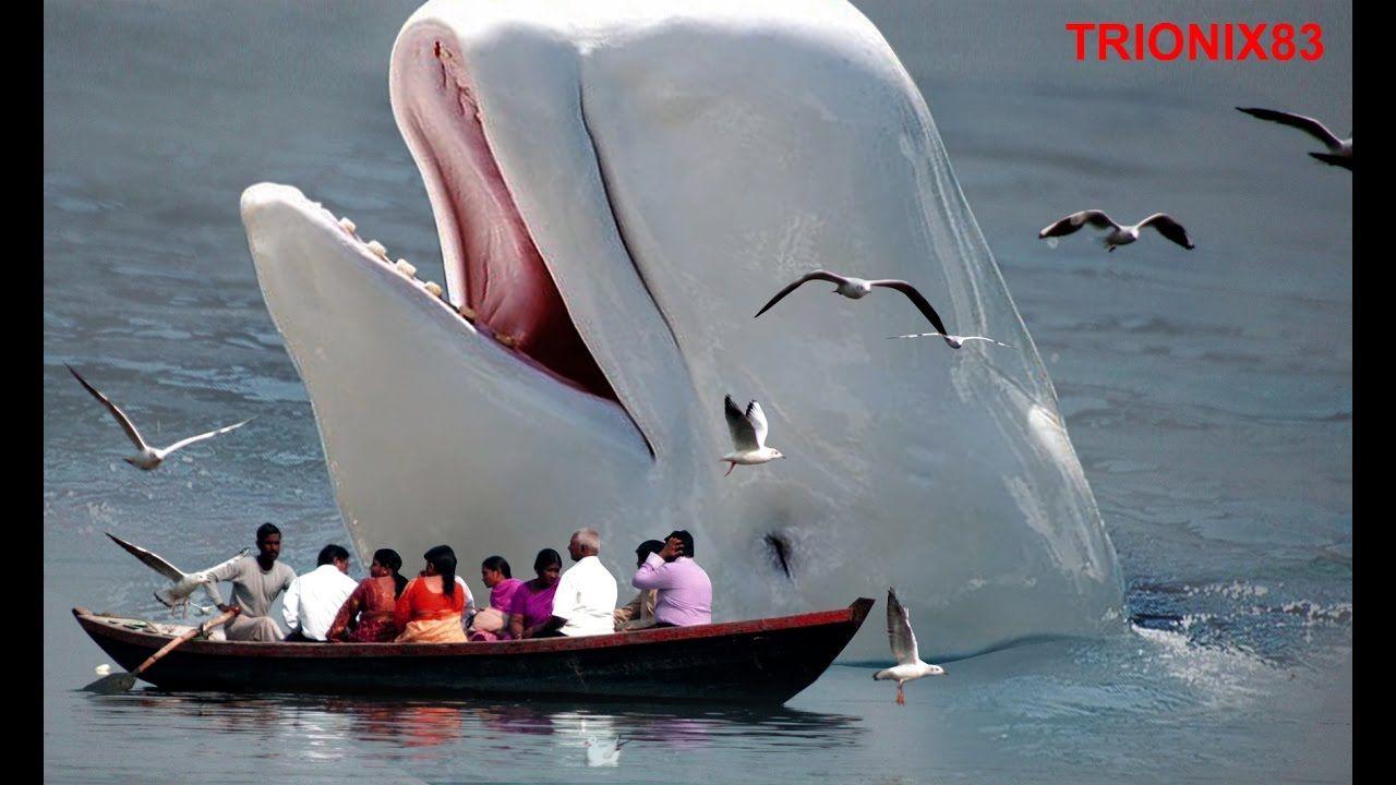 BALLENA AZUL: La ballena mas grande del mundo – Ballenas gigantes ...