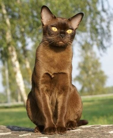 European Chocolate Burmese Cat Click For Cats Expert Veterinary Advice On Feline Health And Behaviour Cats And Kittens Cute Cat Breeds Cat Breeds
