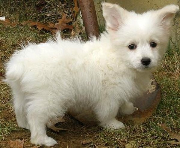 Adorable Pictures Of Corgi Cross Bred Dogs Corgi Poodle Dog