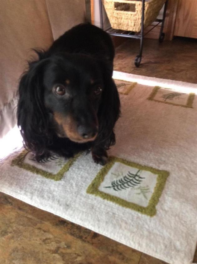 Adopt Maverick on Small dog rescue, Dachshund dog, Small
