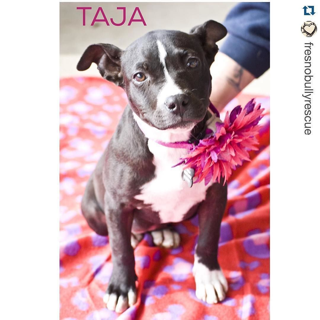 #Repost @fresnobullyrescue with @repostapp.  One rolly polly puppy coming up meet Taja! She was originally found as a stray but ended up in the arms of a good samaritan. She's available for adoption you can find her album through our bio. #fbrpup #adoptdontshop #foster #pitbullpuppy #pitbullsmile #puppiesofinstagram #love #myfavoritebreedisrescued #help #dosomething #dog #donate #dogstagram #adoptyourbestfriend #puppy #puppies #puppylove #realgirlsrescue #pitbulladvocate