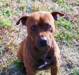 Coffee Is An Adoptable Staffordshire Bull Terrier Dog In Jersey