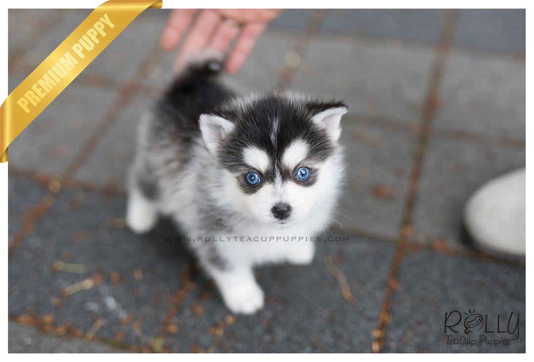 (SOLD to Jones) Blue Pomsky. M Teacup puppies, Pomsky