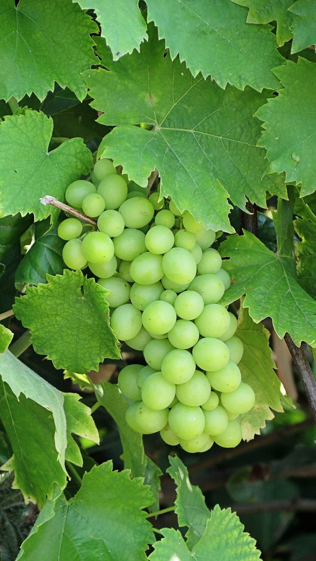 Green Grapes Wallpaper For Android Mobile Phone Grape Wallpaper Green Grapes Grapes
