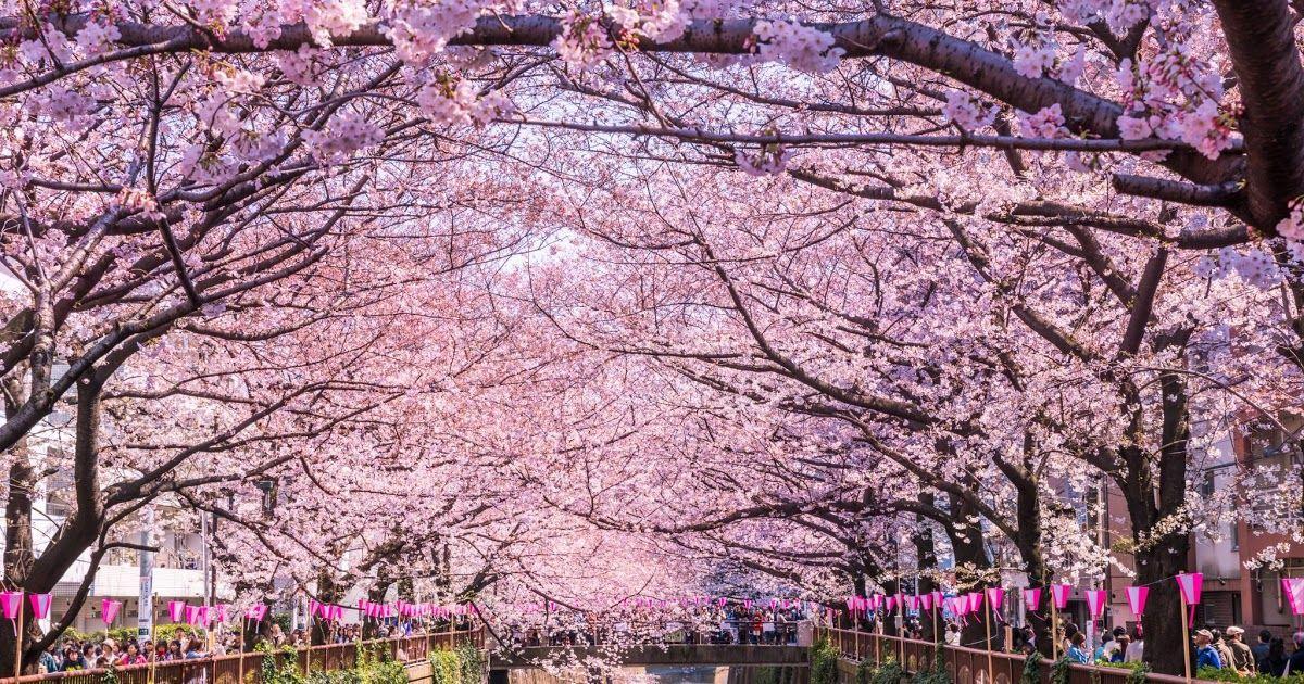25 Gambar Pemandangan Taman Bunga Sakura 7 Tempat Terindah Melihat Bunga Sakura Di Jepang Download 5 Tempat Melih Di 2020 Pemandangan Bunga Sakura Wallpaper Bunga