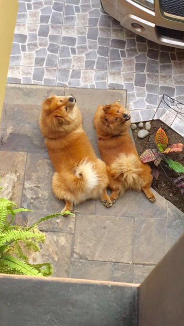 Mis Preciosos Guardianes Chow Chow Puppy Boo The Dog Chow