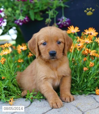 Golden Retriever Puppy Cute dogs, Golden retriever puppy
