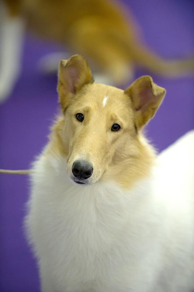 Smooth Collie From Great Britain Use Today Companion