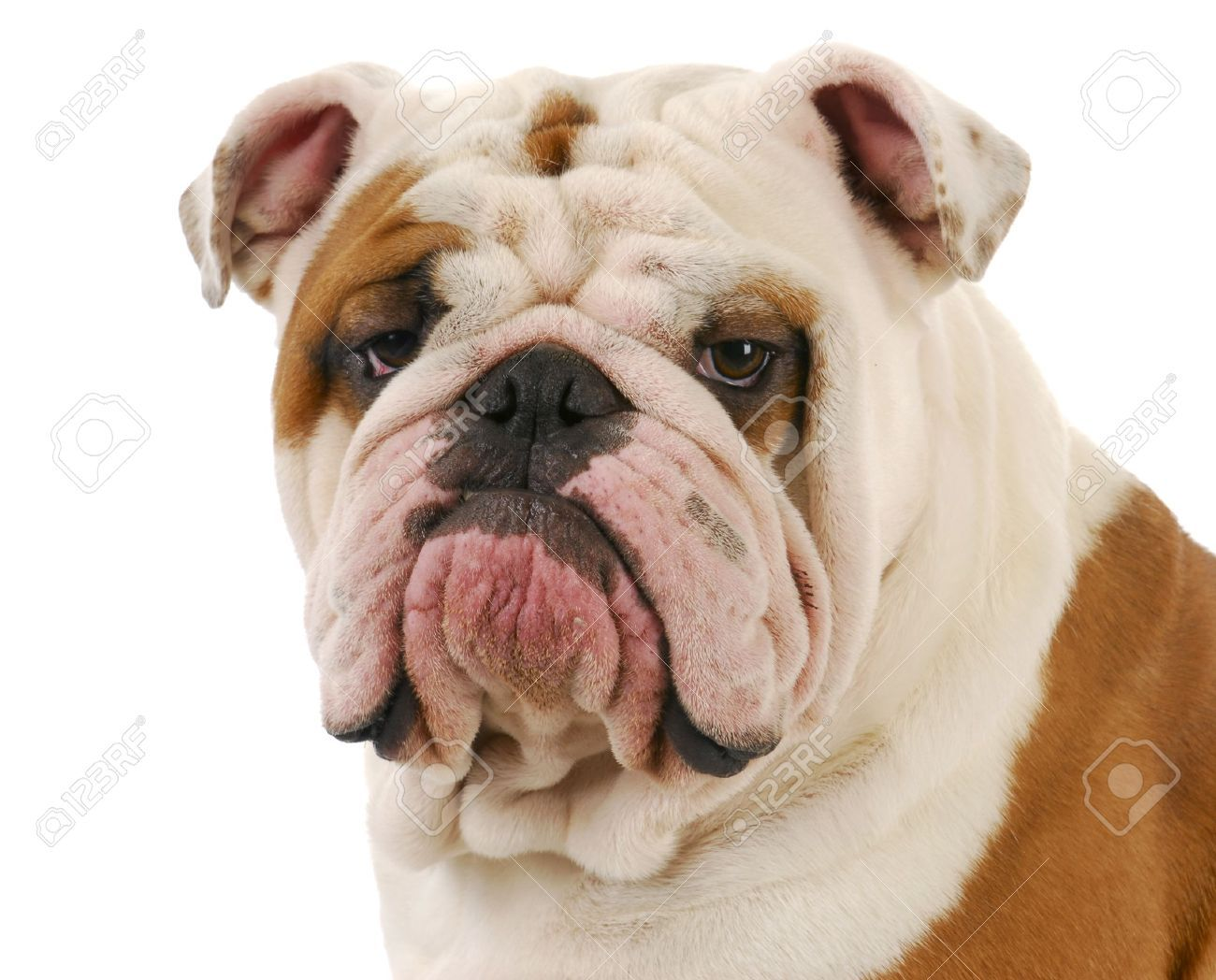 Bulldog Adult Stock Photos Images Royalty Free Bulldog Adult
