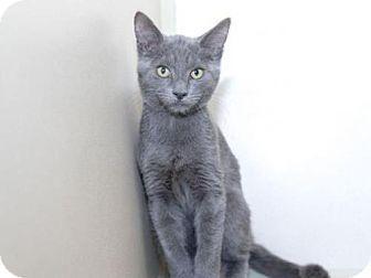 Houston, TX Russian Blue. Meet A468198, a kitten for