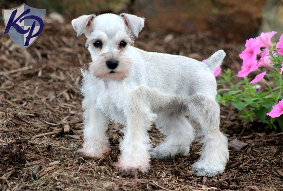 Puppy Finder Find Buy A Dog Today By Using Our Petfinder Mini Schnauzer Puppies Puppy Finder Buy A Dog
