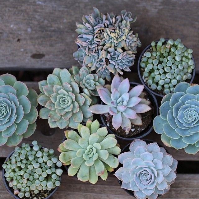Light Blue Aqua And Green Succulents Blue Succulents Succulents Trees To Plant