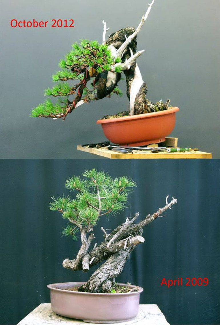 Wildly Unique Before After Bonsai Bark Wiring Yew
