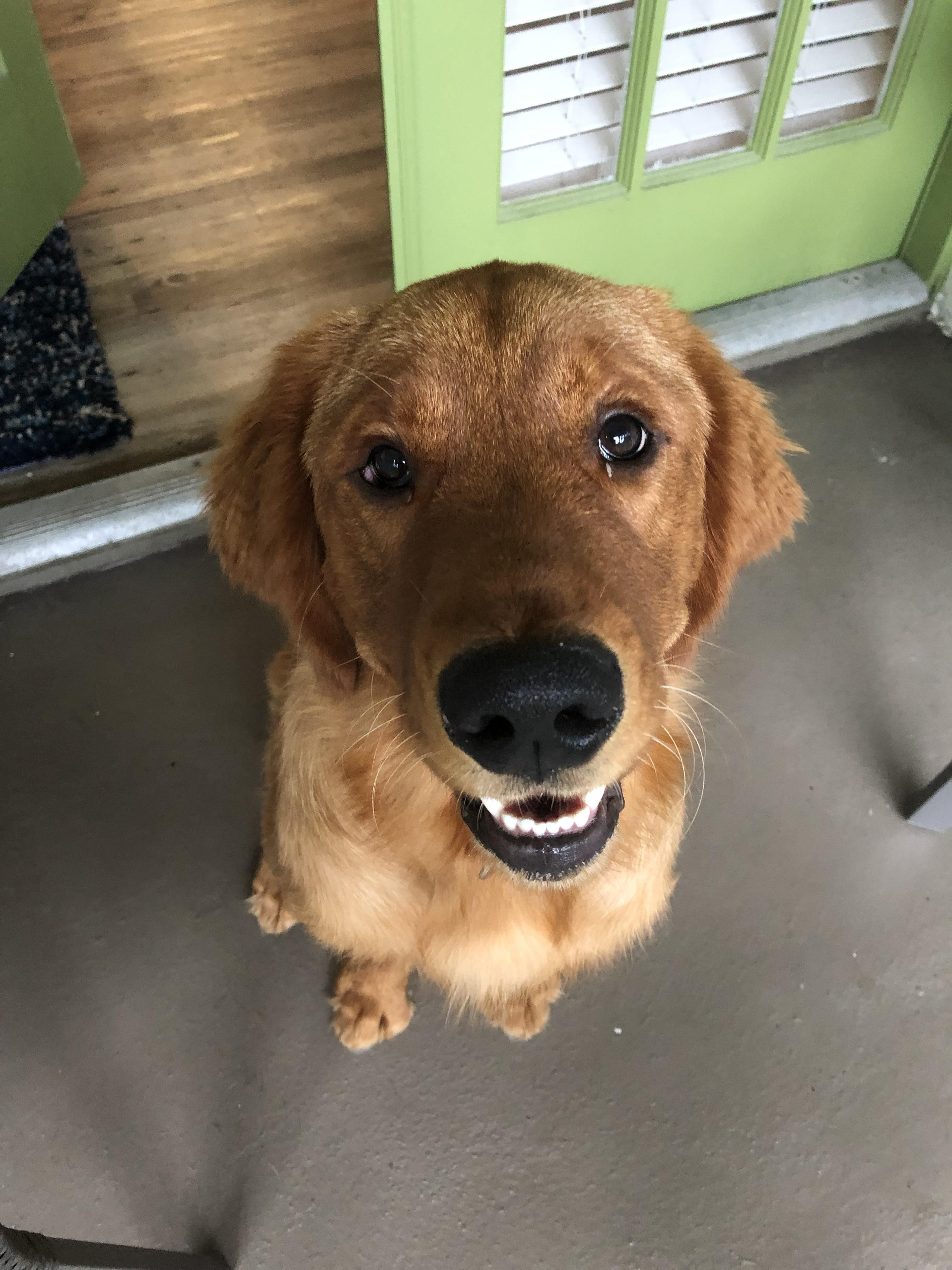 This Is Chance Hes A 6 Month Old Red Golden Retriever That His