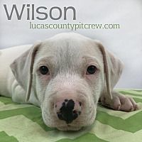 petcard American bulldog mix, Dogs, Pitbull terrier