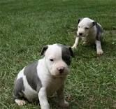 Black And White Amstaff Puppies Puppies American Staffordshire