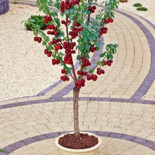 The Best Dwarf Fruit Trees To Grow In Pots Fruit Gardening My Favthings Dwarf Fruit Trees Fruit Trees In Containers Potted Trees