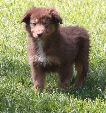 Litter Of 6 Australian Shepherd Puppies For Sale In Acton Ca Adn
